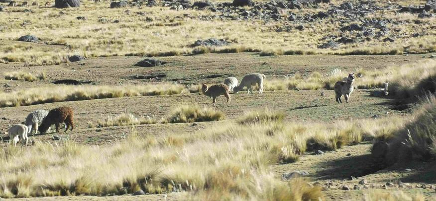 Die ersten Lamas werden gesichtet