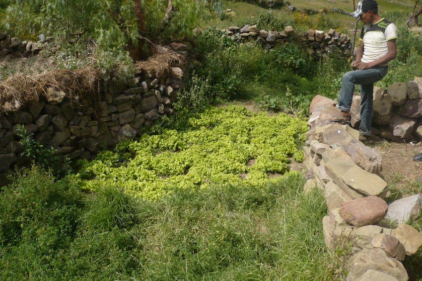 Durch Steingehege wird ein Mikroklima geschaffen, das zu bestimmten Jahreszeiten auch den Anbau von Salat im Freien möglich macht.